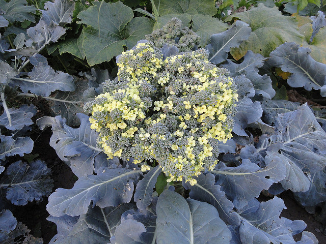 Blooming Broccoli