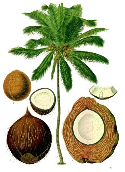 Vintage Medicinal Plant Illustration, Franz Eugen Kohler