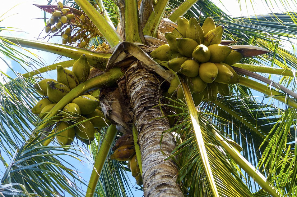 Coconuts growing on tree.